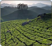 Manicured  hill  slopes, the tea plantations of Munnar, Kerala